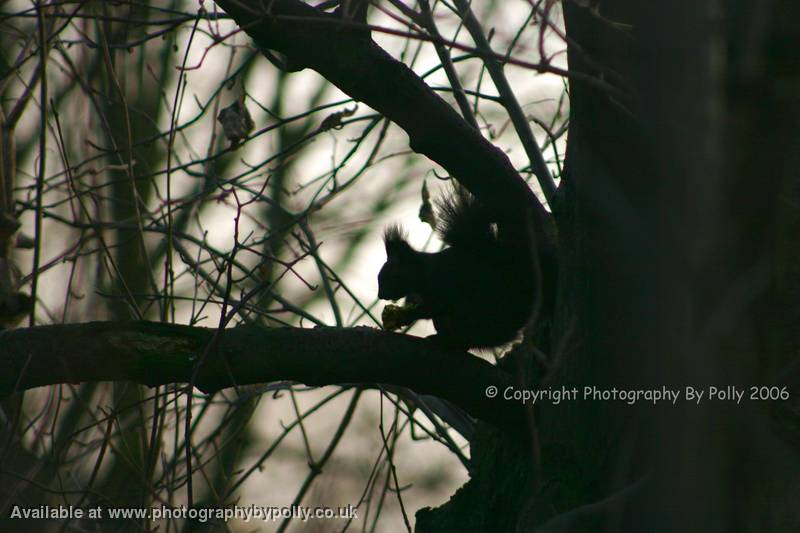 Black Squirrel Silhouette