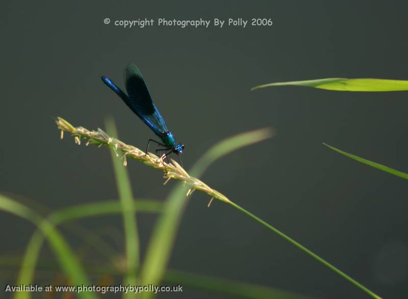 Blue Mayfly