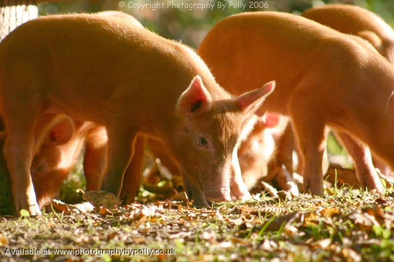 Foraging Piglets