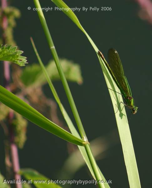 Green Mayfly