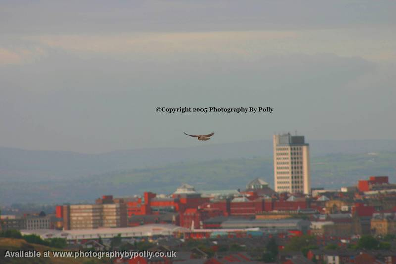 Kestrel Over City