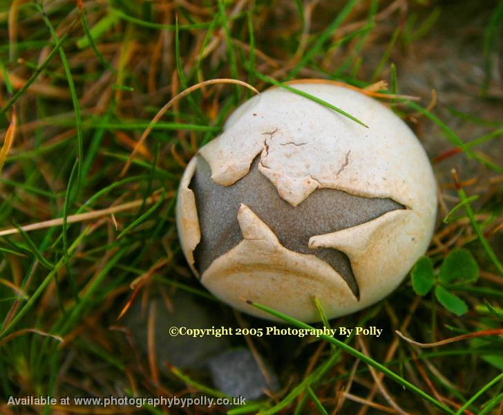 Meadow Puffball 3