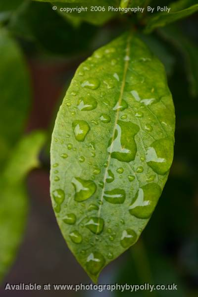 Rain on Rose Leaves 2