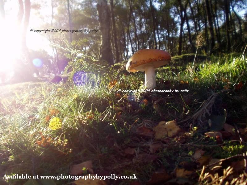 Side Sun Toadstool