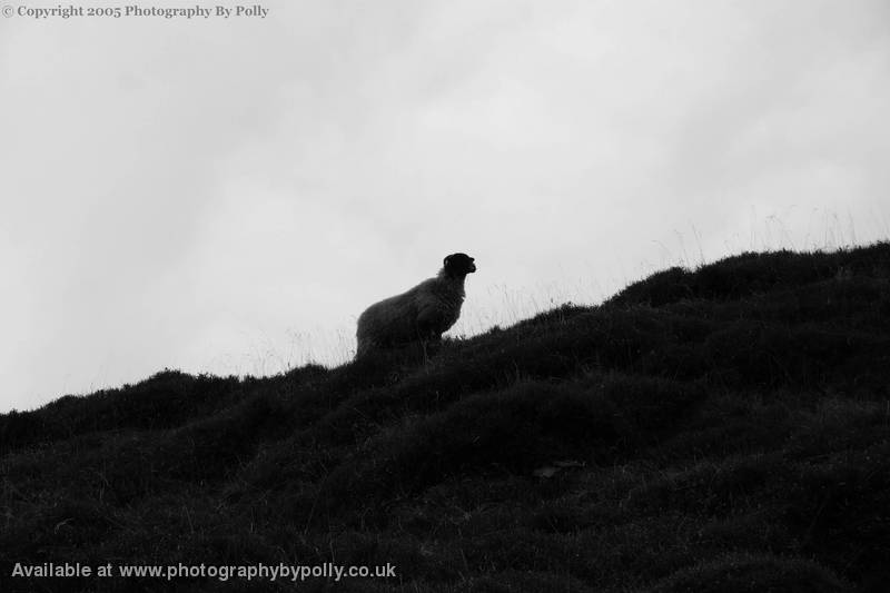 Silhouetted Sheep